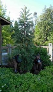 wollemi-pine