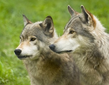 Grey Wolves (Photo: Ron Dunnington via Flickr Creative Commons)
